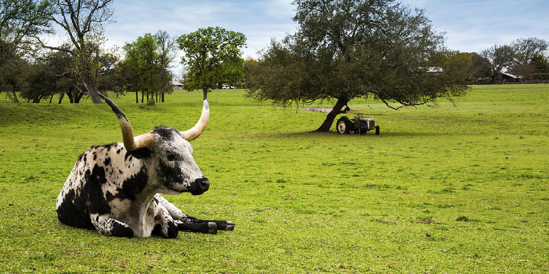 Texas Longhorn on the green grass