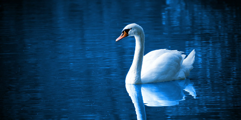 Swan on a beautiful blue water