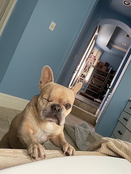 One eyed French bulldog offering assistance