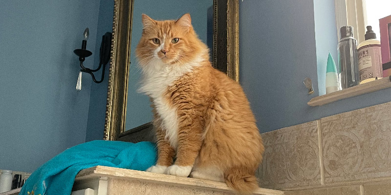 Close up of the disapproving big orange cat