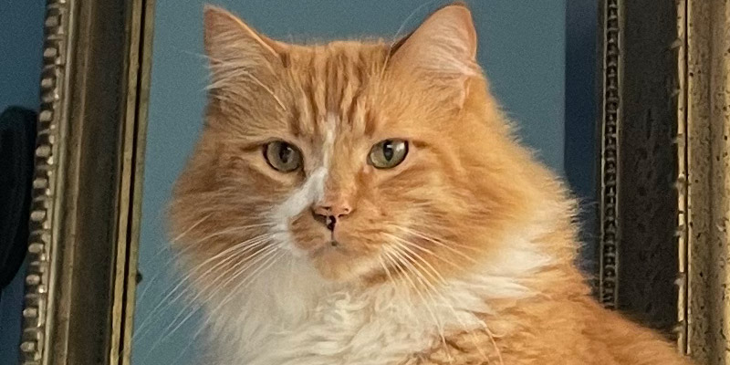 Extreme close up of the disapproving orange cat